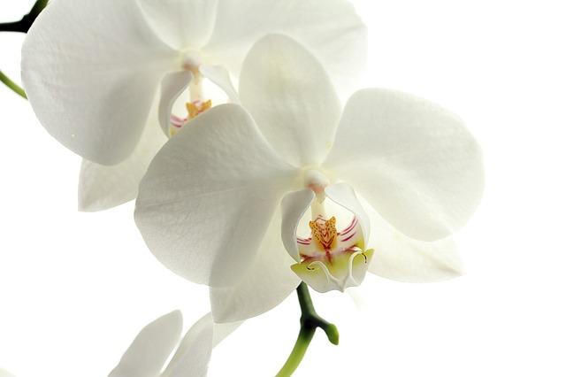 orchidees pour la deco
